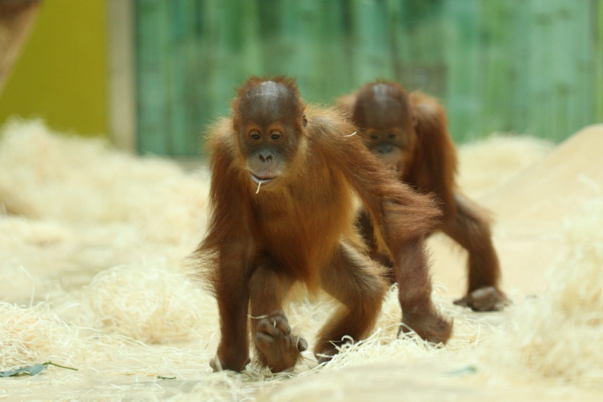 Sumatra Orang-Utans Quentin und Quinn im Tierpark Hellabrunn