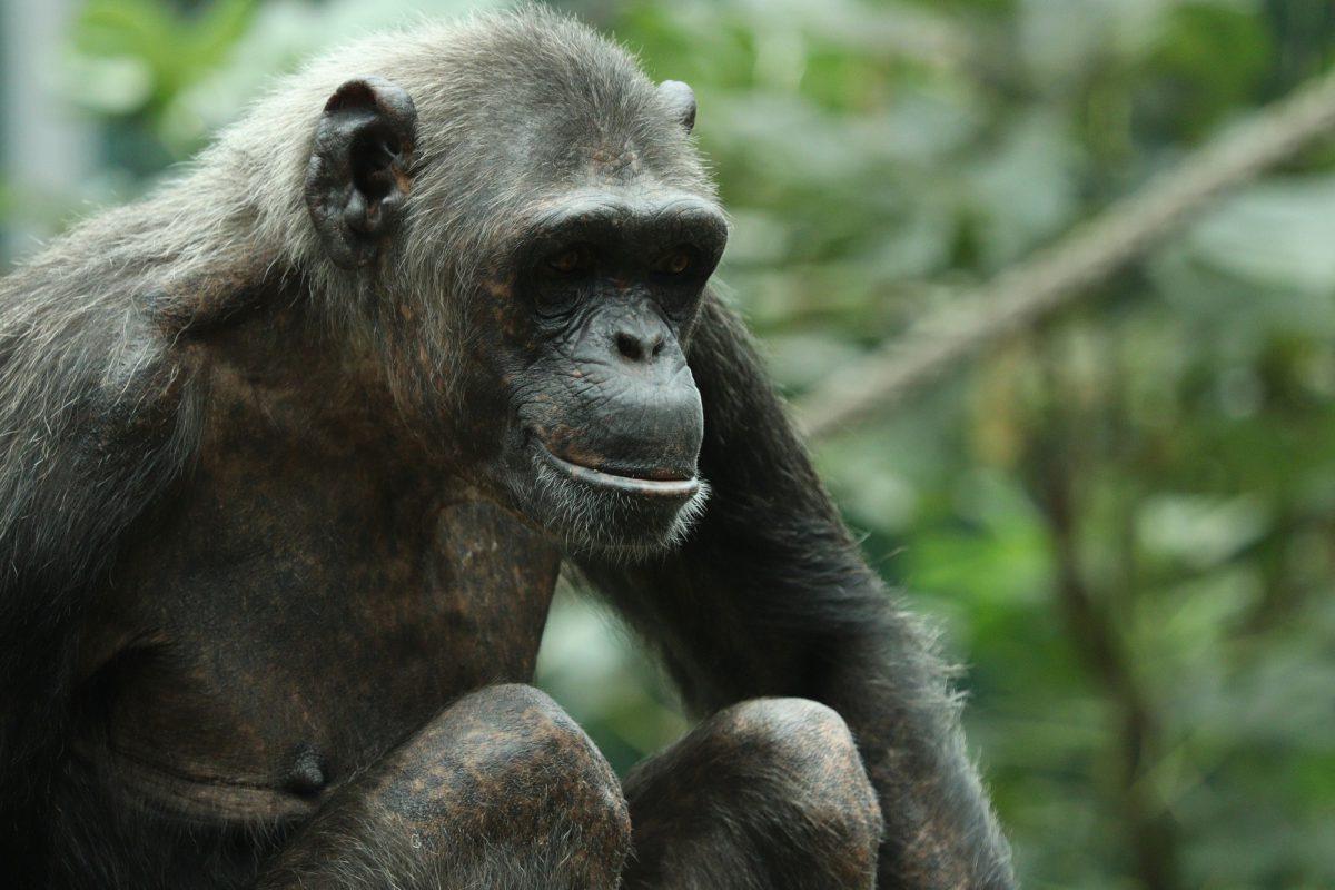 Schimpanse im Tierpark Hellabrunn