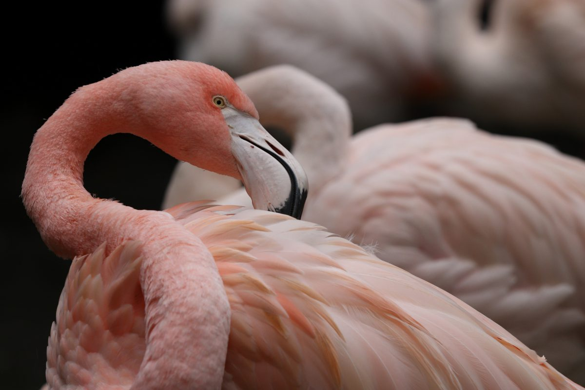 Rosa Flamingo im Tierpark Hellabrunn