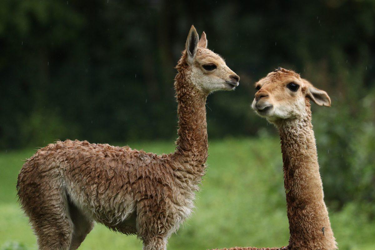 Vikunja mit Nachwuchs im Tierpark Hellabrunn