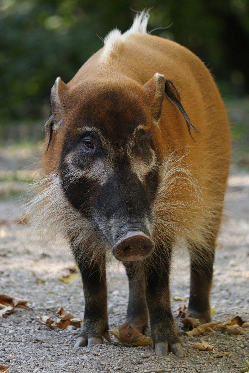 Pinselohrschwein im Tierpark Hellabrunn
