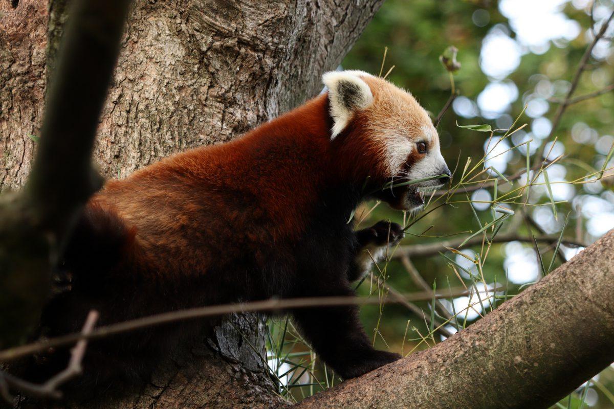 Roter Panda Justin im Tierpark Hellabrunn