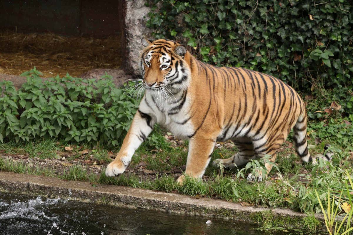 Sibirische Tigerin Ahimsa auf Entenjagd im Tierpark Hellabrunn