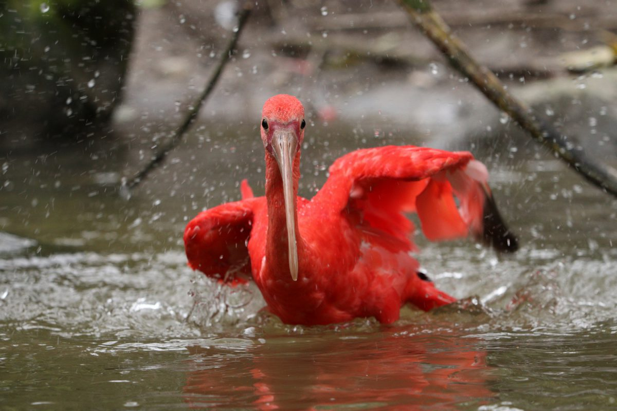 Roter Sichler im Tierpark Hellabrunn