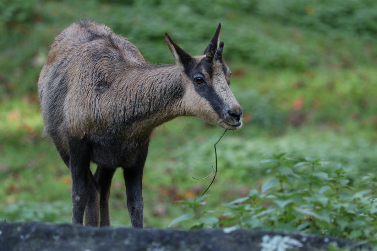 Gämse im Tierpark Hellabrunn
