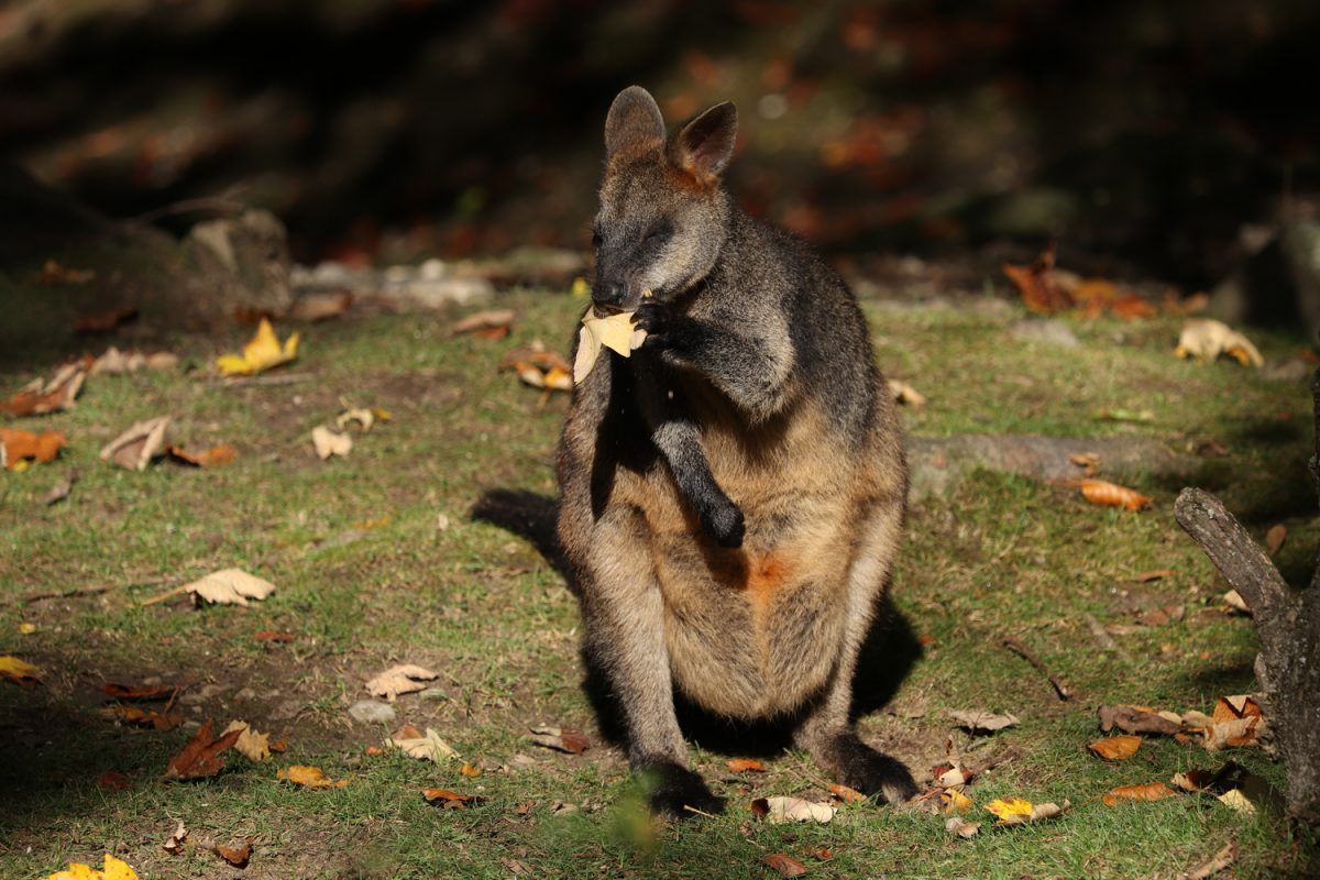 Sumpfwallaby im Tierpark Hellabrunn im Herbst