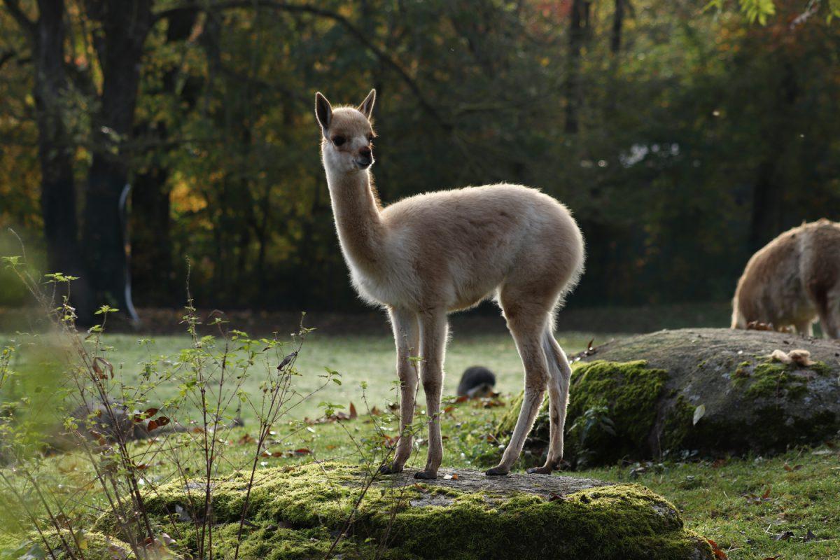 Vikunja Nachwuchs im Tierpark Hellabrunn im Herbst
