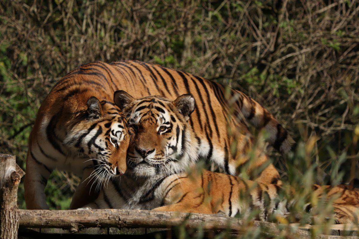 Sibirische Tiger Jegor und Ahimsa schmusend im Tierpark Hellabrunn