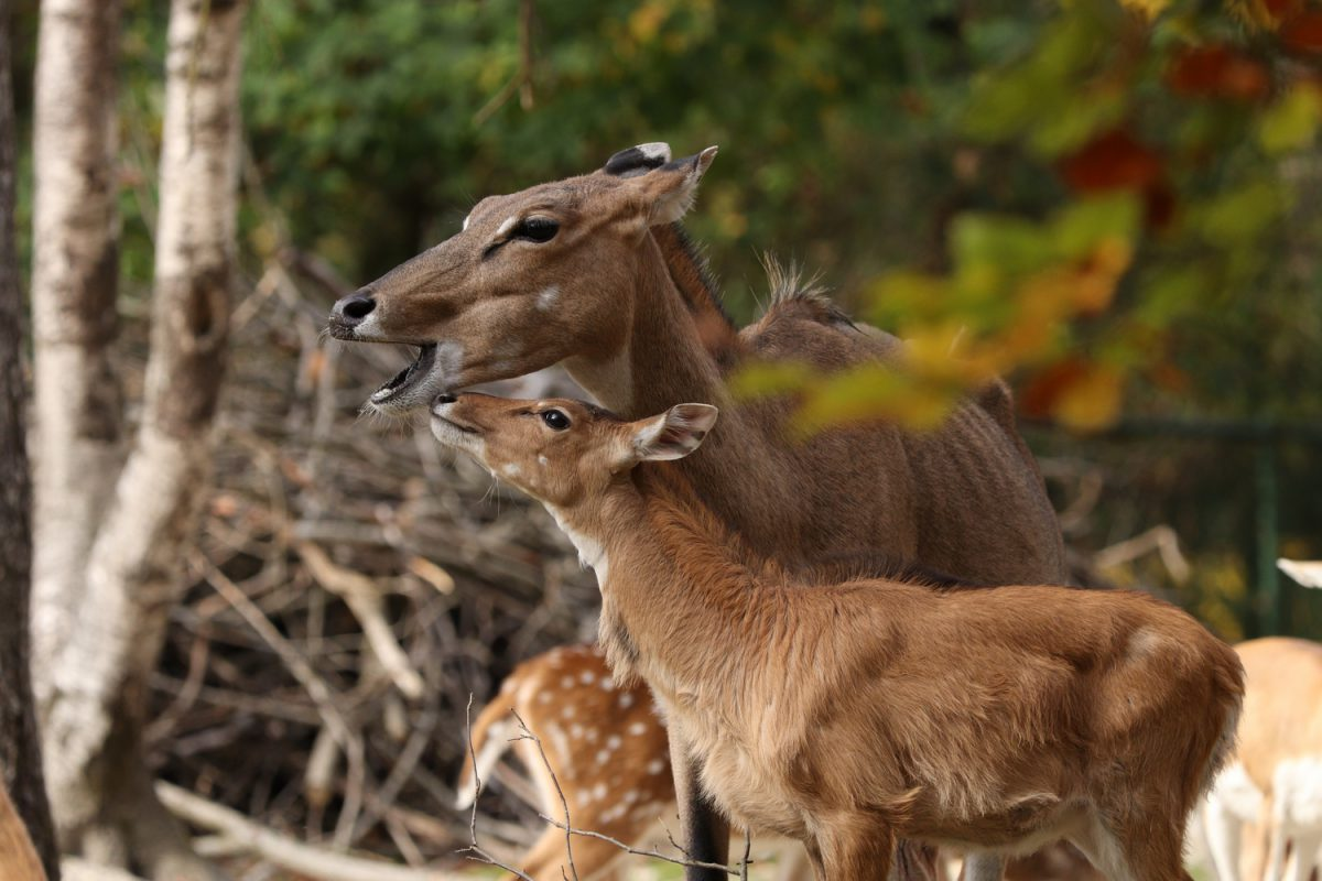 Nilgauantilope mit Nachwuchs im Tierpark Hellabrunn