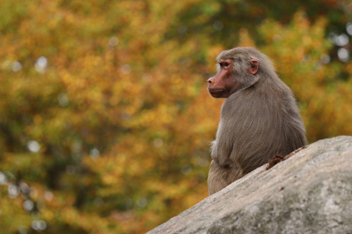 Mantelpavian im Tierpark Hellabrunn im Herbst
