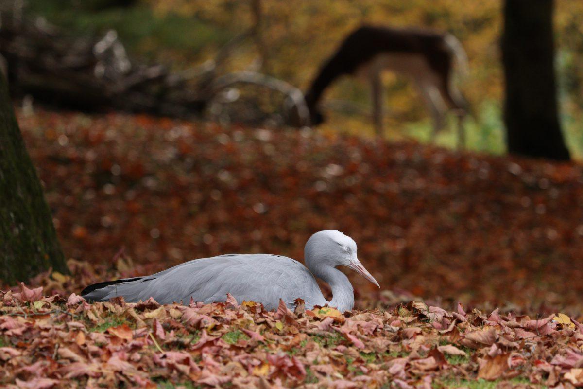 Paradieskranich im Tierpark Hellabrunn