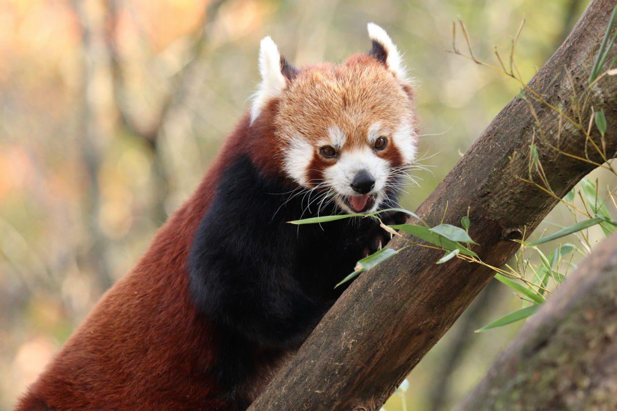 Roter Panda Miu im Tierpark Hellabrunn im Herbst
