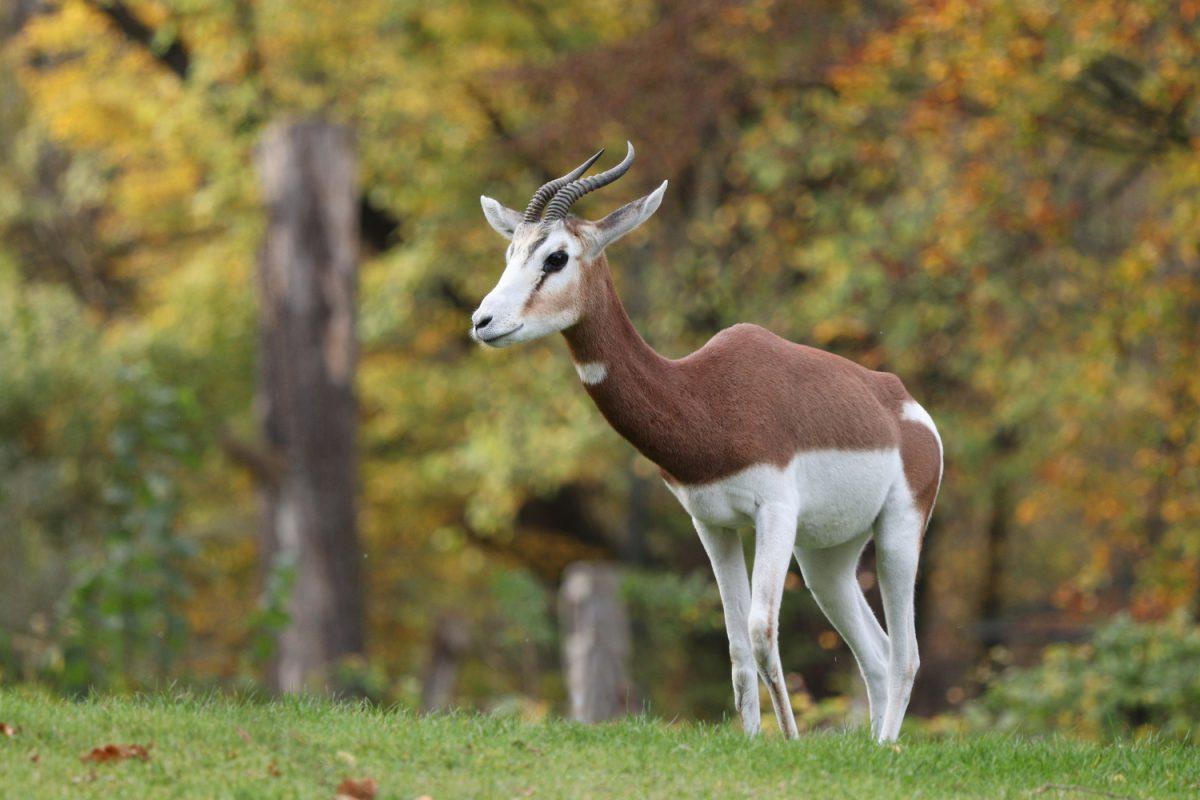 Mhoorgazelle im Tierpark Hellabrunn im Herbst