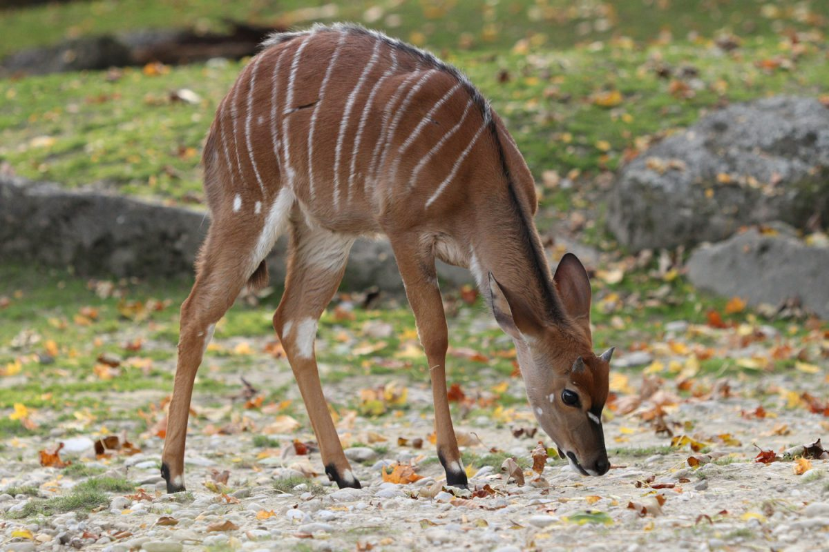 Nyala im Tierpark Hellabrunn
