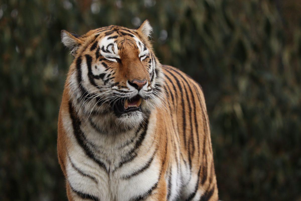 Sibirische Tigerin Ahimsa aus dem Tierpark Hellabrunn