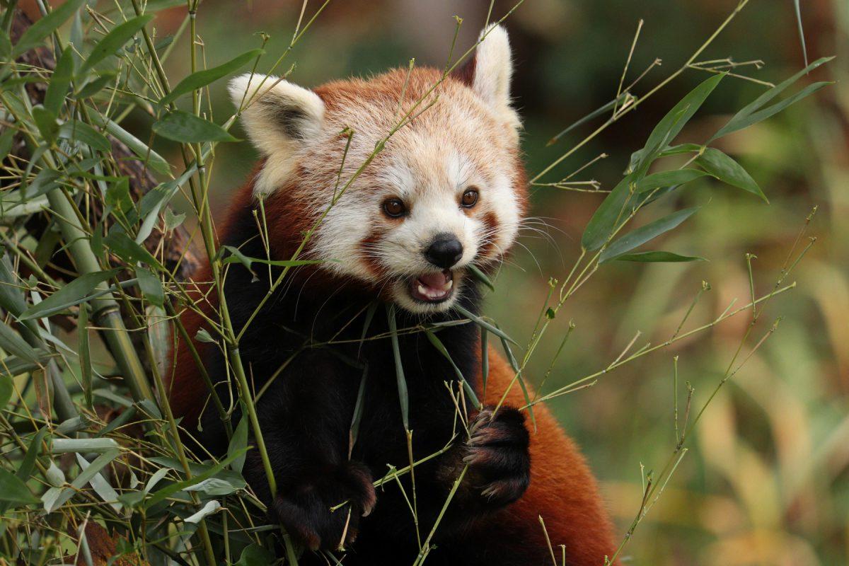 Roter Panda im Zoo Salzburg