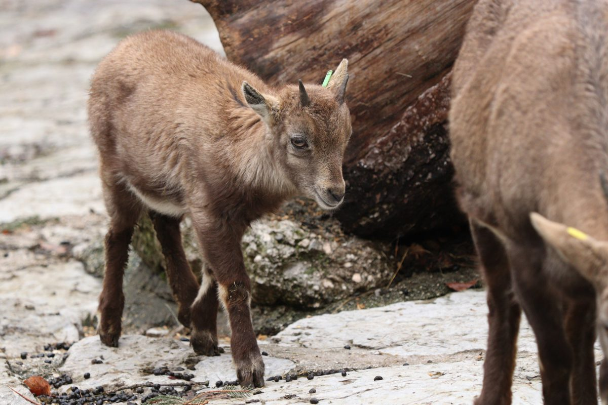 Junger Steinbock im Zoo Salzburg