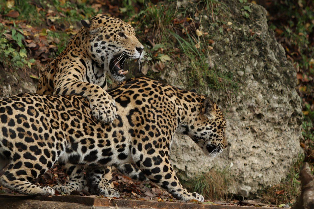 Jaguare im Zoo Salzburg