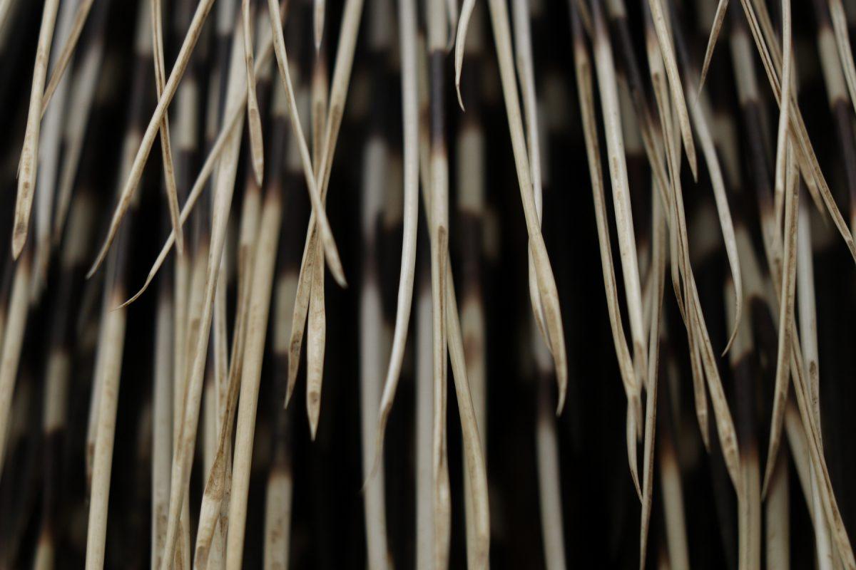 Stachelschwein Details im Zoo Salzburg