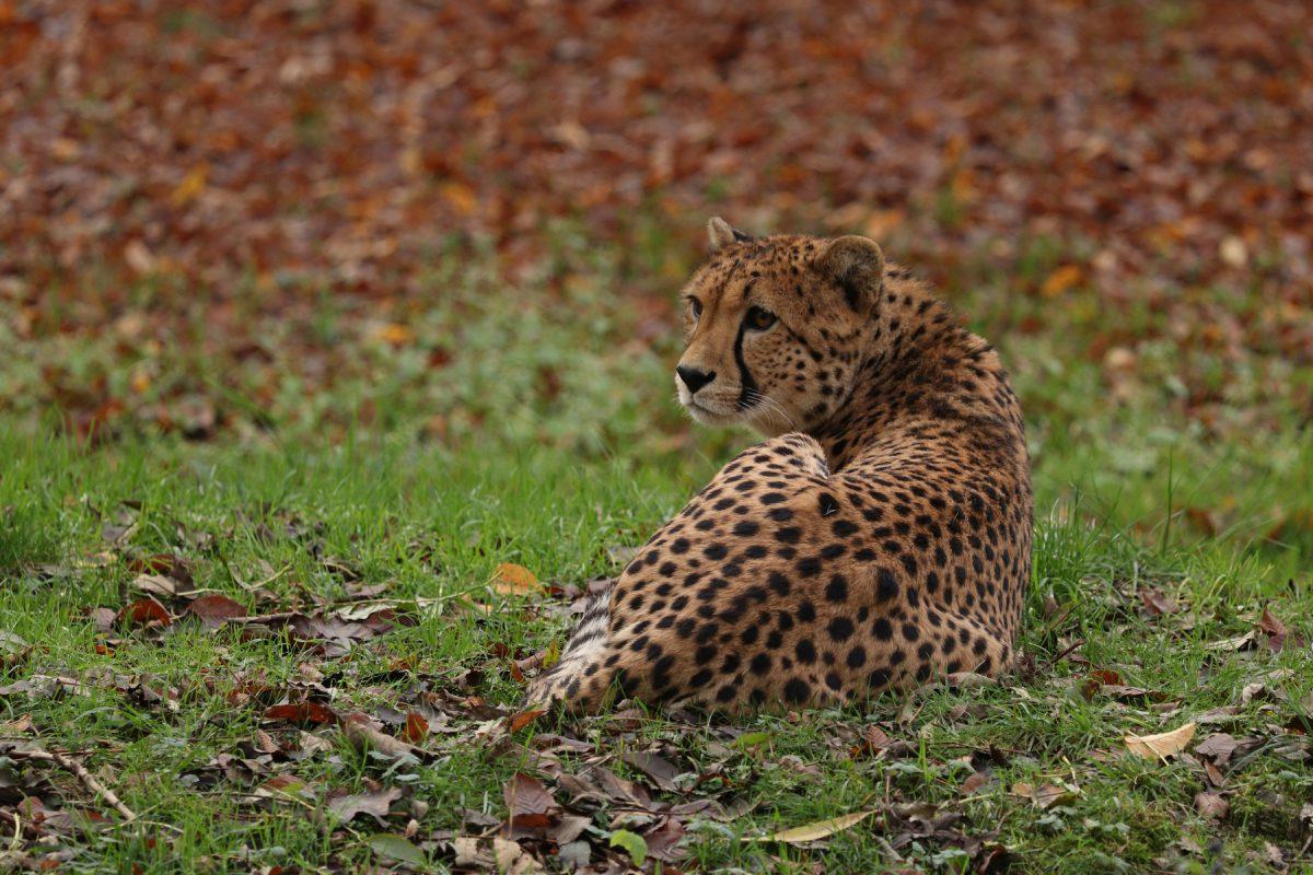 Gepard im Zoo Salzburg