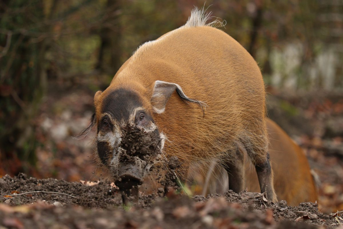 Pinselohrschwein im Zoo Salzburg