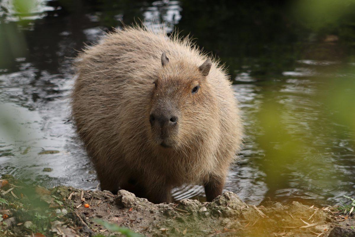 Capybara im Zoo Salzburg