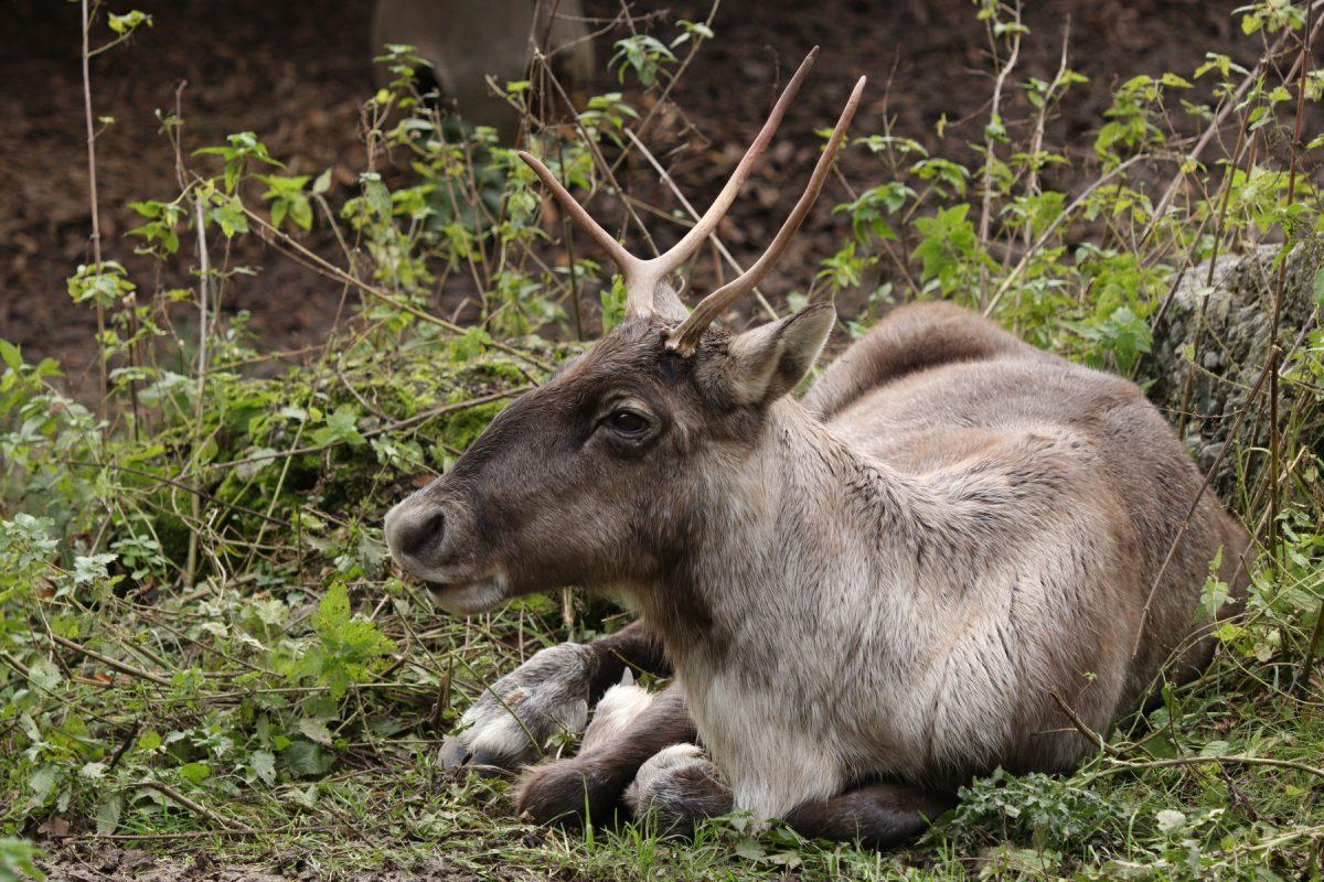 Rentier im Zoo Salzburg