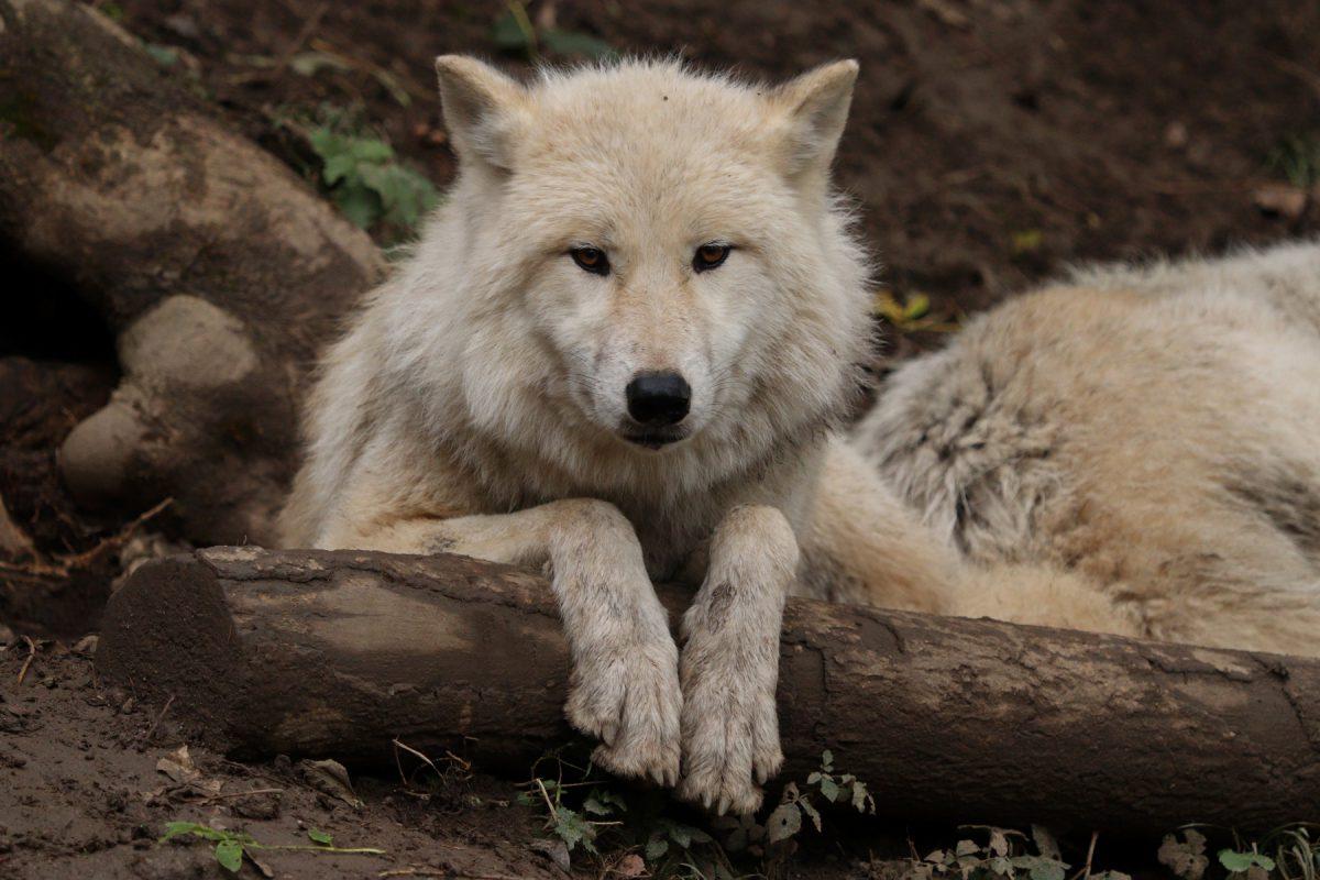 Polarwolf im Zoo Salzburg