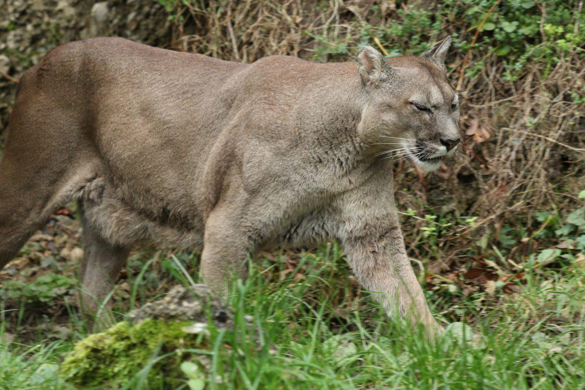 Puma im Zoo Salzburg