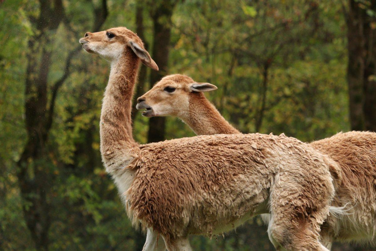 Kämpfende Vikunjas im Tierpark Hellabrunn