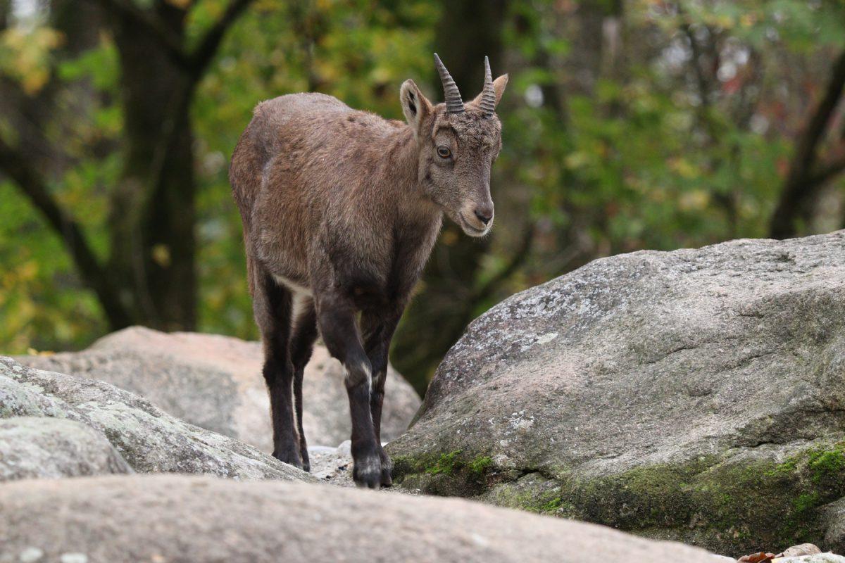 Alpensteinbock im Tierpark Hellabrunn