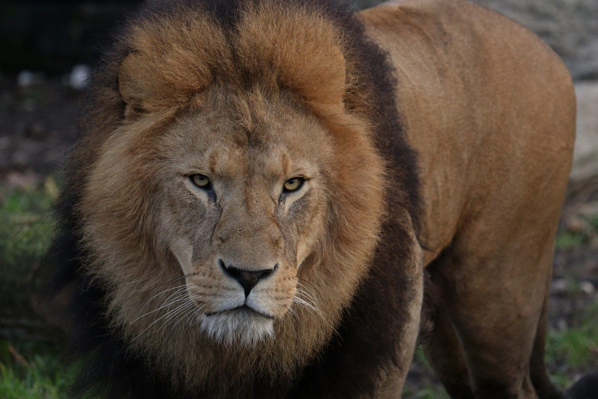 Afrikanischer Löwe Benny im Tierpark Hellabrunn