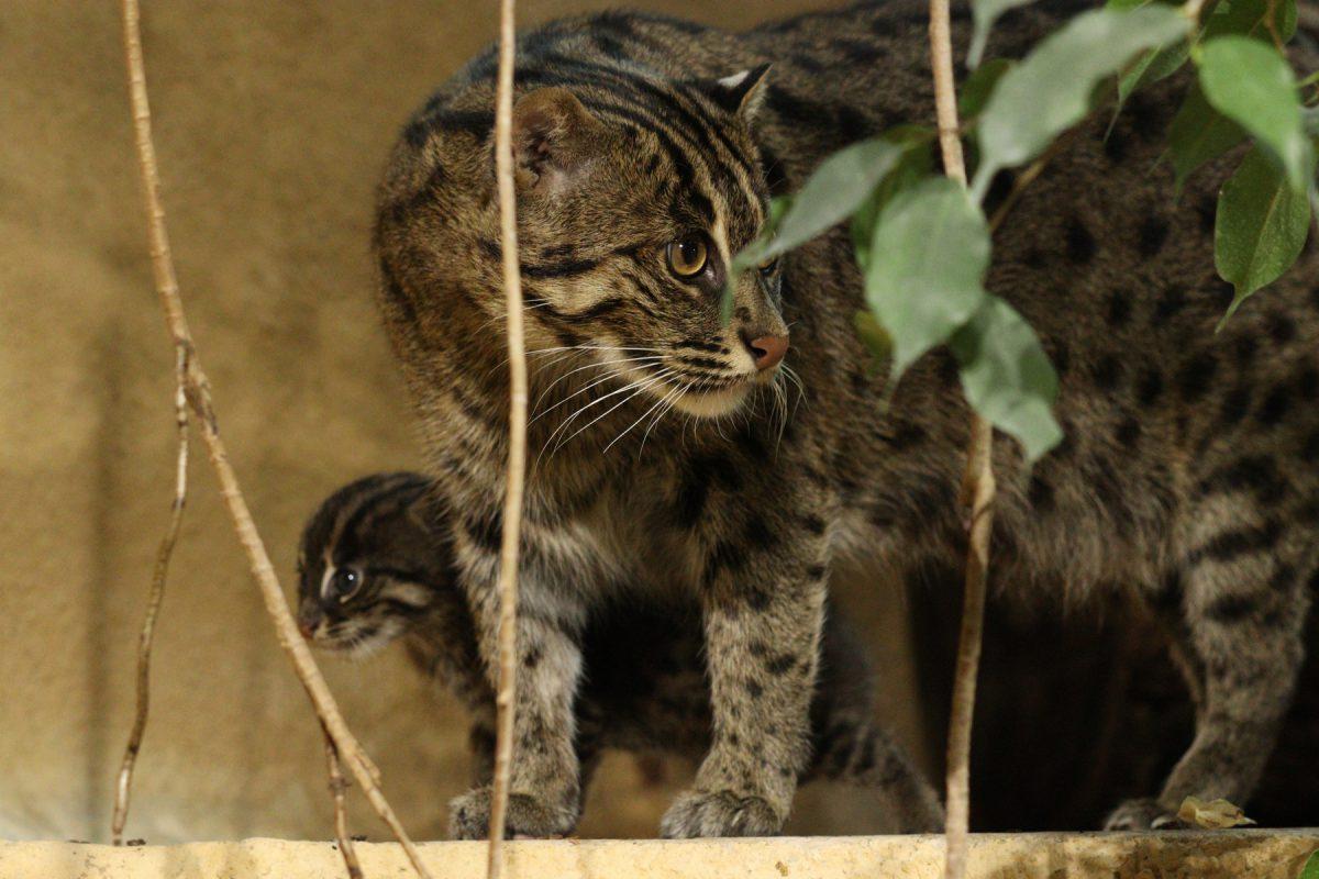 Fischkatze Luzi mit Nachwuchs im Tierpark Hellabrunn