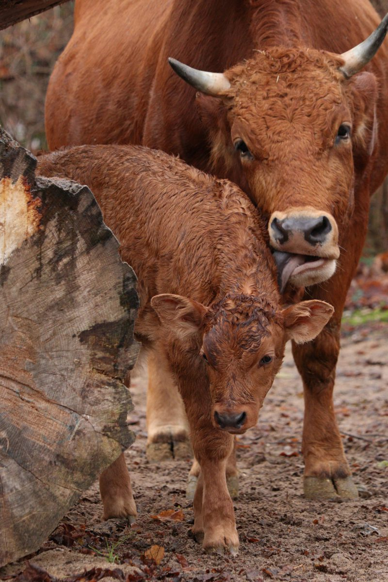 Murnau-Werdenfelser-Rind mit Nachwuchs im Tierpark Hellabrunn