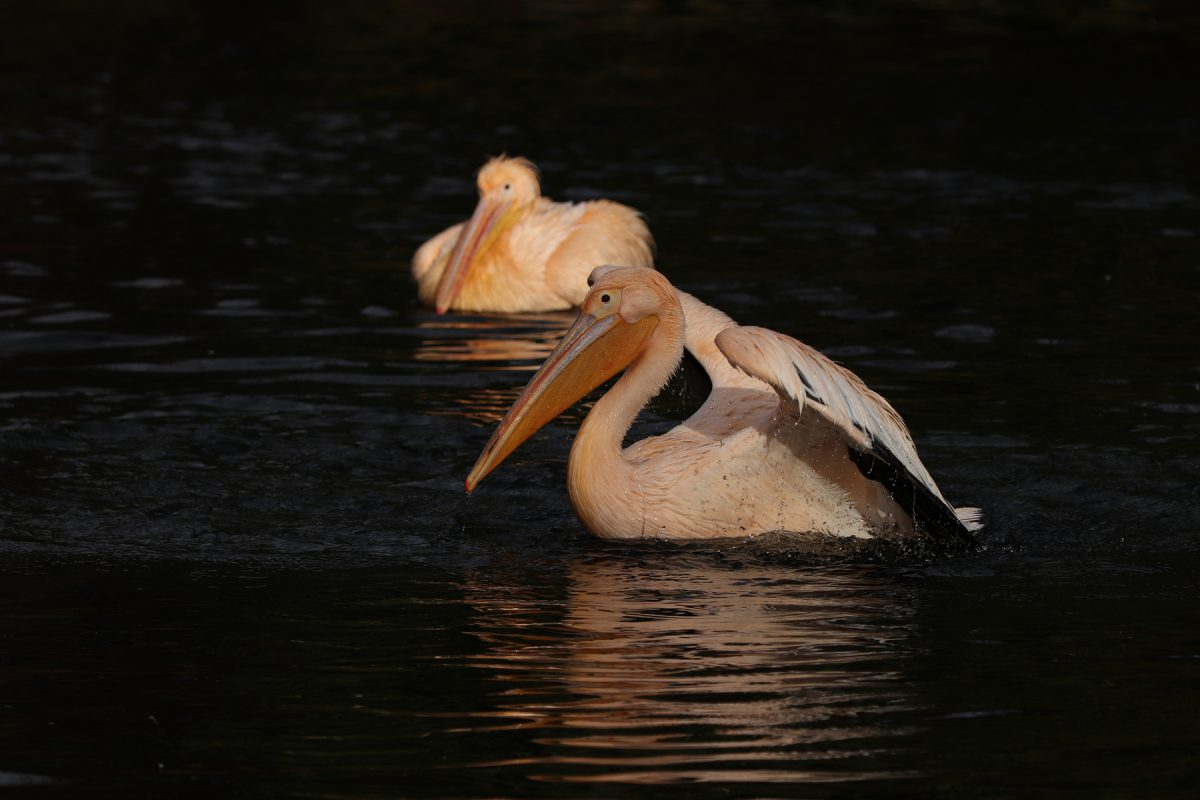 Rosa Pelikane im Tierpark Hellabrunn