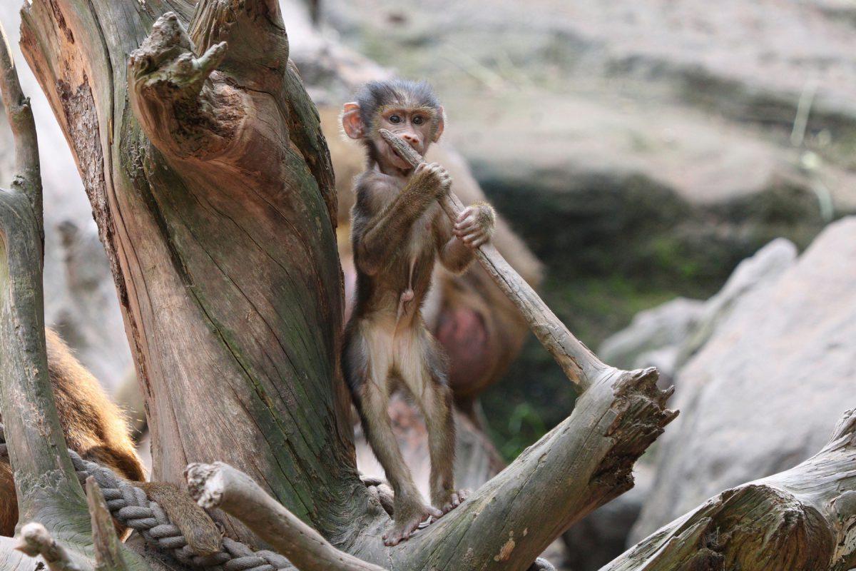 Sphinx-Pavian Baby im Tiergarten Nürnberg