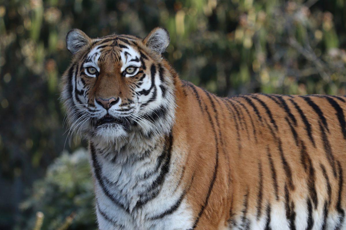 Sibirische Tigerin Ahimsa im Tierpark Hellabrunn