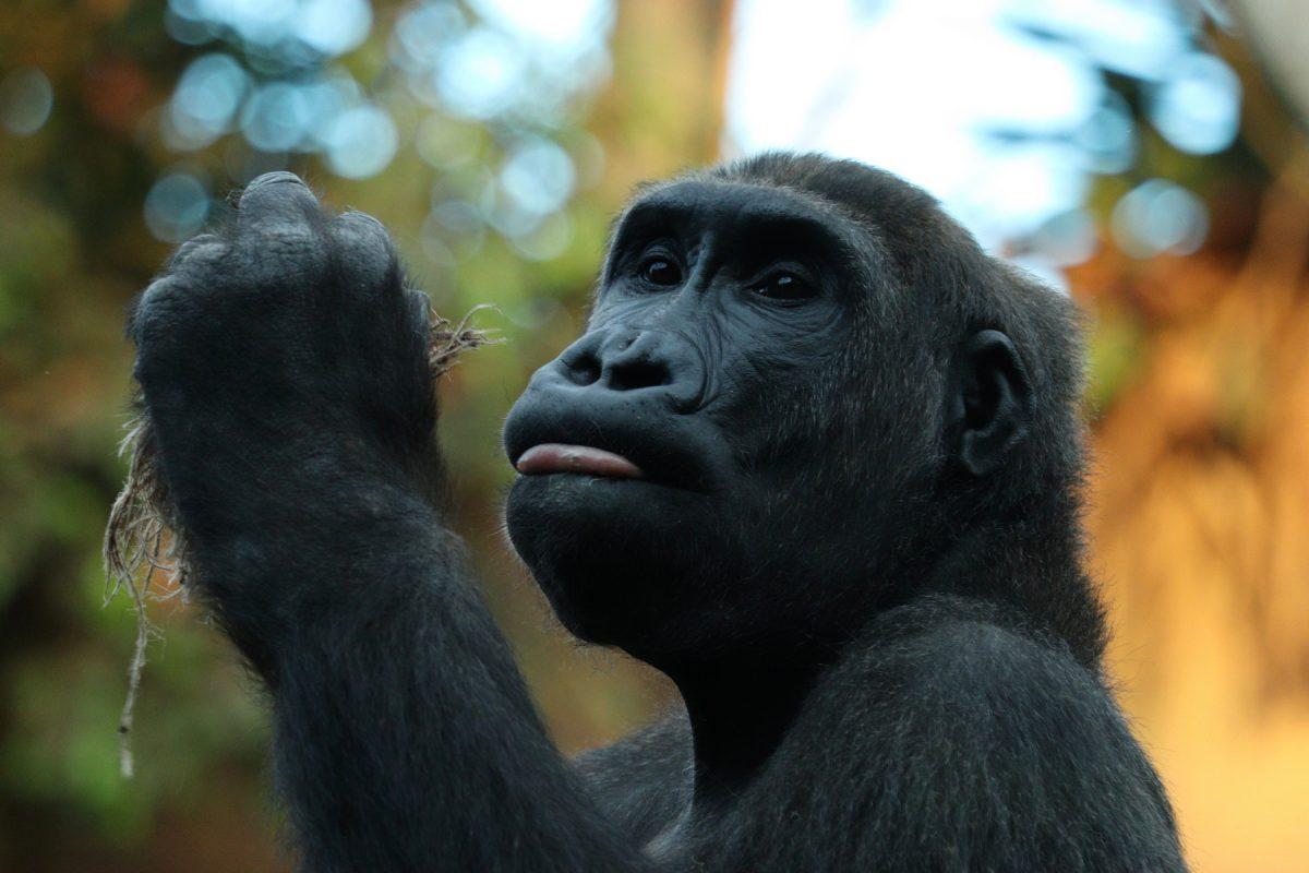 Gorilla im Tierpark Hellabrunn