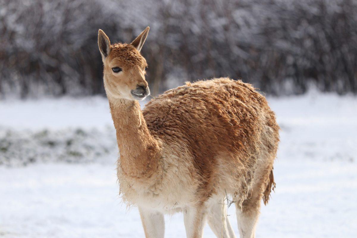 Vikunja im Schnee im Tierpark Hellabrunn