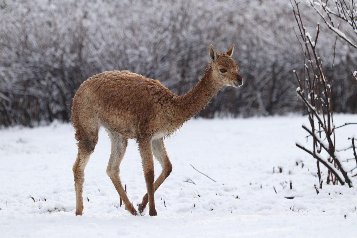 Vikunja-Nachwuchs im Schnee im Tierpark Hellabrunn