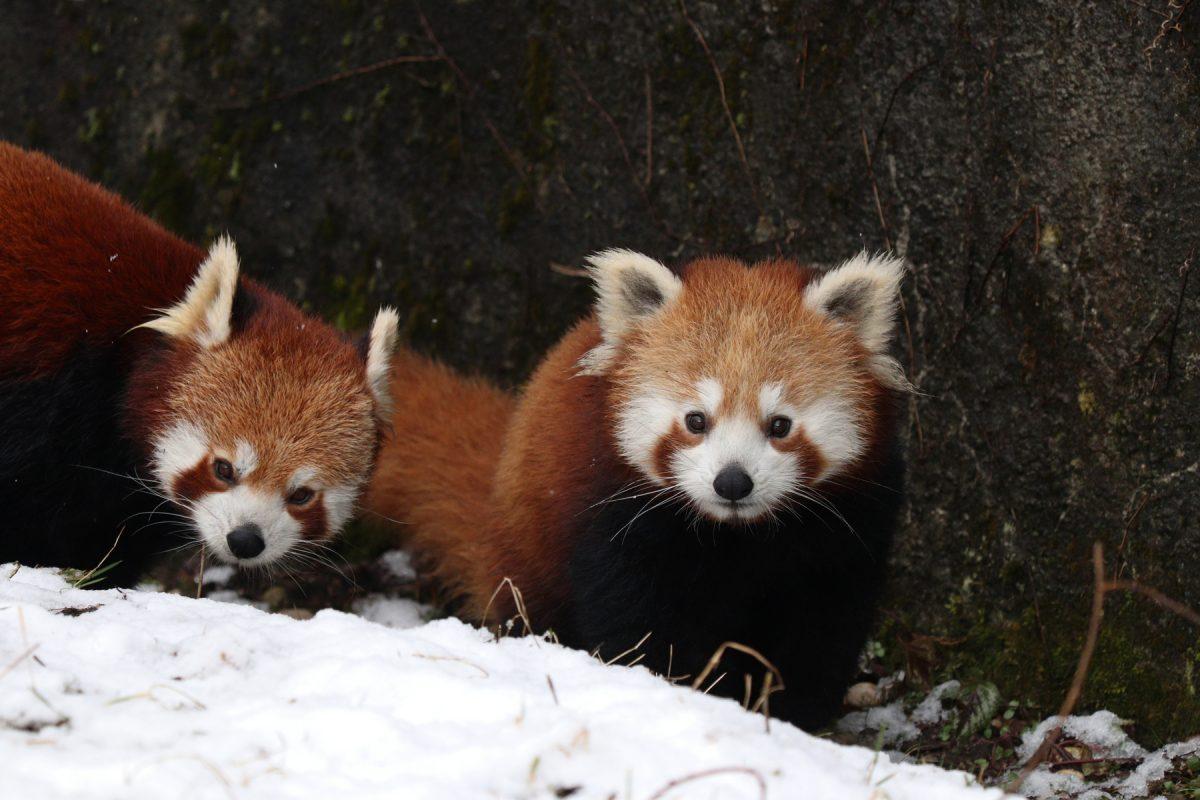 Roter Panda-Nachwuchs Tia mit Mutter Mia im Schnee im Tierpark Hellabrunn