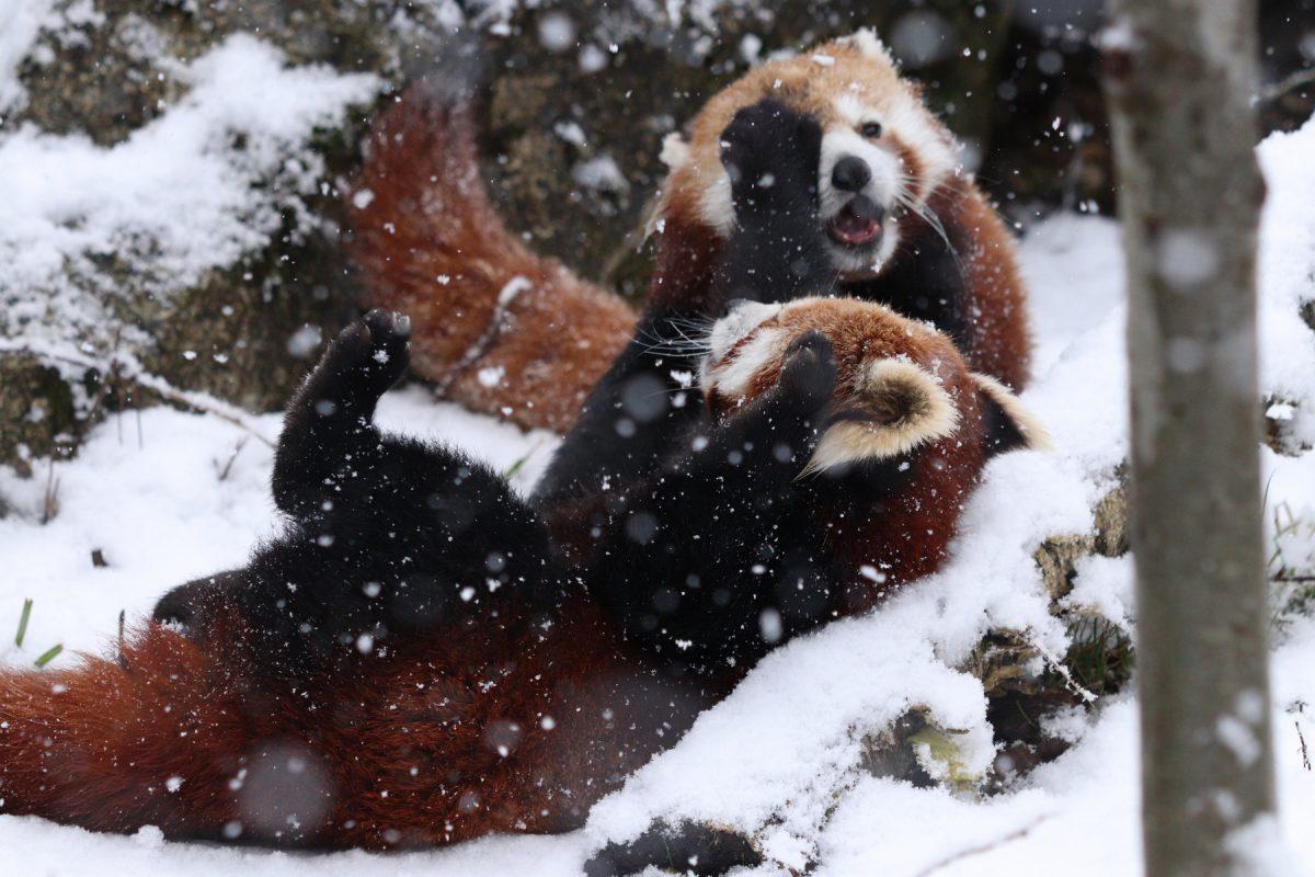 Roter Panda-Nachwuchs Tia beim Spielen im Schnee mit Mama Miu im Tierpark Hellabrunn