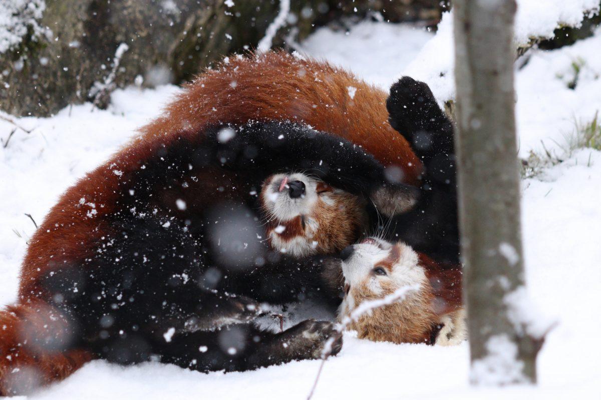 Rote Pandas Tia und Miu im Schnee im Tierpark Hellabrunn