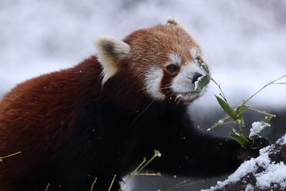 Roter Panda Miu im Schnee im Tierpark Hellabrunn