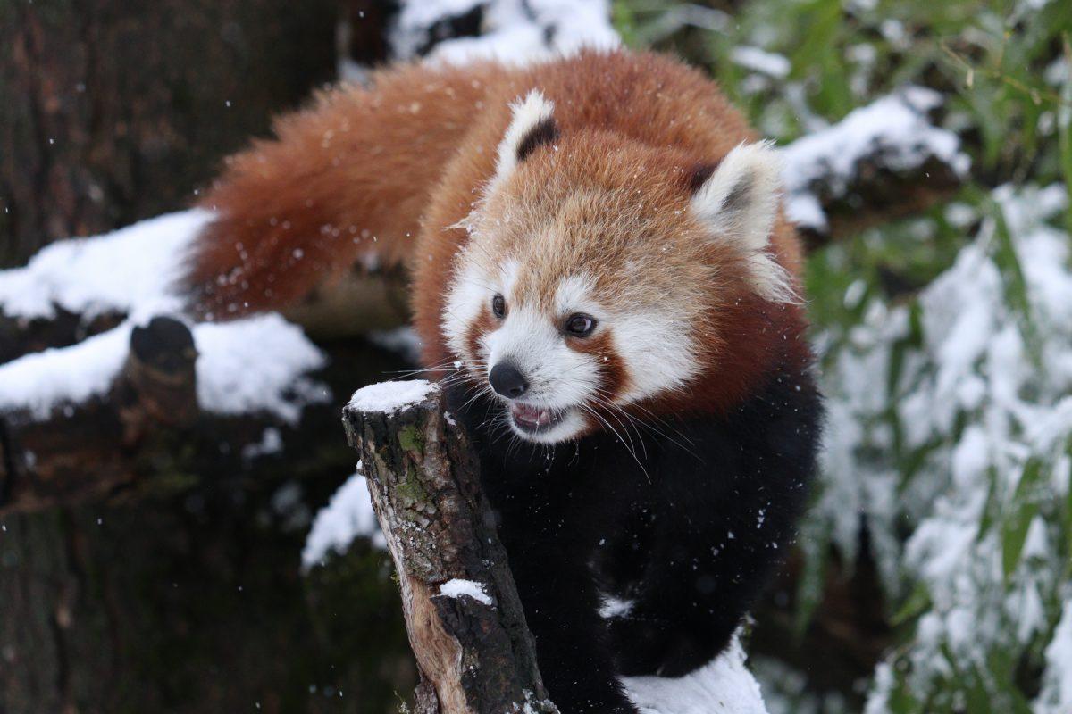 Roter Panda Tia im Schnee im Tierpark Hellabrunn