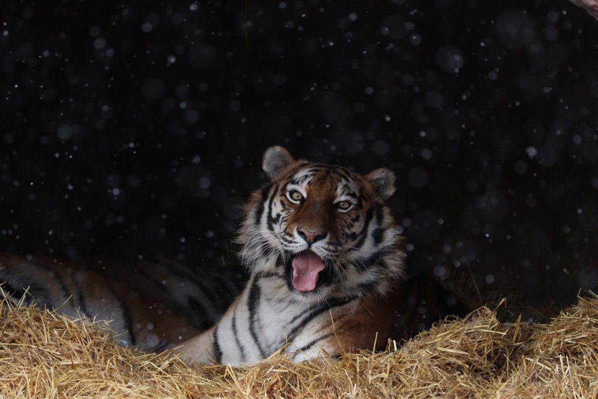 Sibirische Tigerin Ahimsa im Schnee im Tierpark Hellabrunn