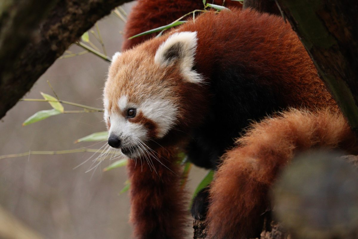 Rotes Panda-Mädchen Tia im Tierpark Hellabrunn