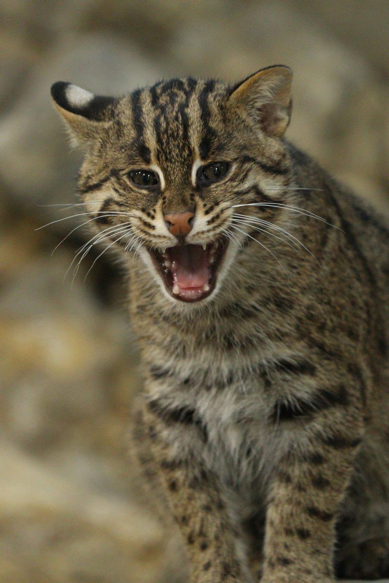 Fischkatzennachwuchs im Tierpark Hellabrunn