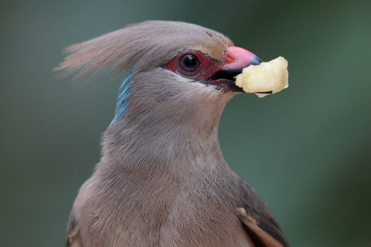 Blaunacken-Mausvogel im Tierpark Hellabrunn