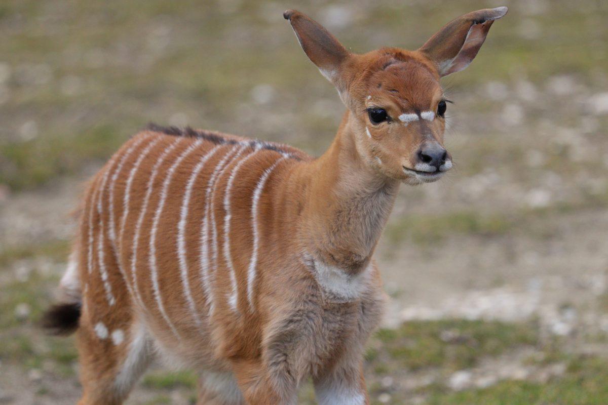 Nyala Jungtier im Tierpark Hellabrunn